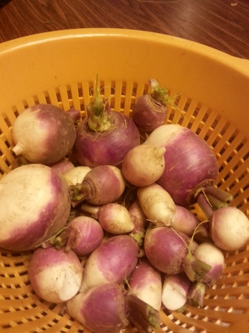 Turnip roots from the Garden